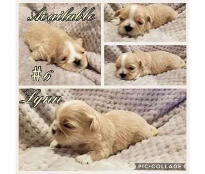 L & T Designer Mal~Shi 5 Puppies Only Available is a Other Announcements listing in Sacramento CA