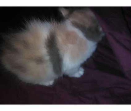 Blue Cream Persian Female Persian is a Blue Female Persian Kitten For Sale in Indianapolis IN
