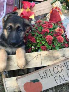 View Ad German Shepherd Dog Puppy For Sale New Hampshire