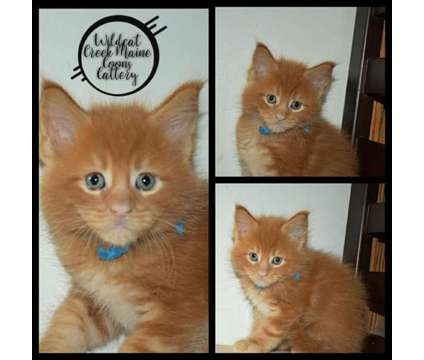Maine Coon Kittens is a Male Maine Coon Kitten For Sale in Kokomo IN