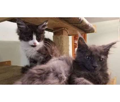 Maine coon kittens are looking for new homes is a Maine Coon Kitten Wanted in Brooklyn NY