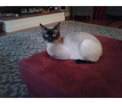 Gorgeous Siamese Male cat is a Male Siamese Adult For Sale in Eugene OR