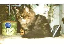A Beautiful Brown Tabby Male Persian, 5 months old is Available
