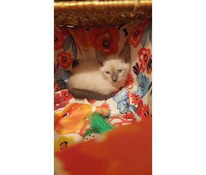 Purebred traditional apple head siamese kittens is a Siamese Young For Sale in Hurt VA
