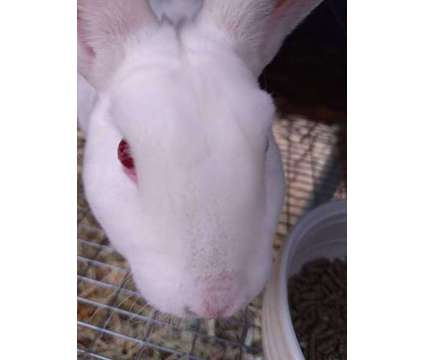 Mini rex buck is a Male For Sale in Denver CO