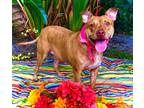 Adopt Yari a Red/Golden/Orange/Chestnut American Pit Bull Terrier / Plott Hound