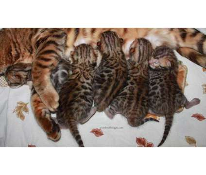 TICA Bengal Kittens is a Bengal Kitten For Sale in Redding CA