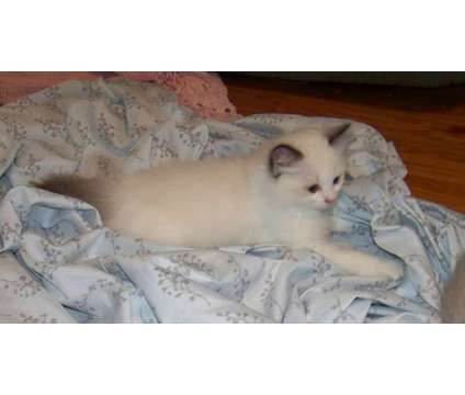 Purebred Ragdoll kittens is a Female Ragdoll Kitten For Sale in New Holland PA