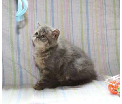 Silver persian kitty is a Grey Persian Kitten For Sale in Ligonier PA