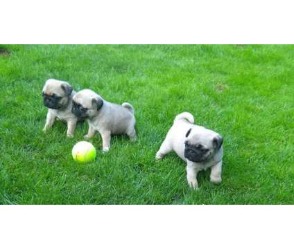 Supportive Pug Puppies New Home is a Female, Male Pug For Sale in Sherman IL