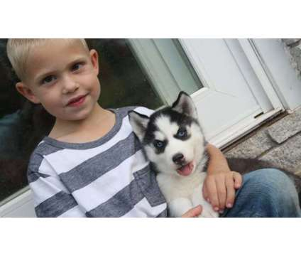 Super Siberian Husky Puppies New Home is a Female, Male Siberian Husky For Sale in Sherman IL