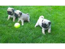 Sweet Pug Puppies New Home