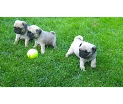 Sweet Pug Puppies New Home is a Female, Male Pug For Sale in Uleta FL
