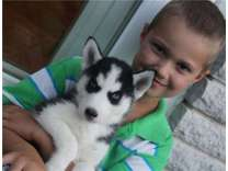 Lover Siberian Husky Puppies New Home
