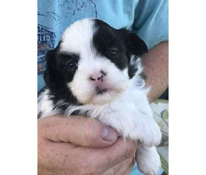 Baxter the Wonderful CavaTzu is a Male Cava-Tzu Puppy For Sale in Delaware OH