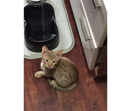 Purebred Ocicats is a Ocicat For Sale in Lyndora PA