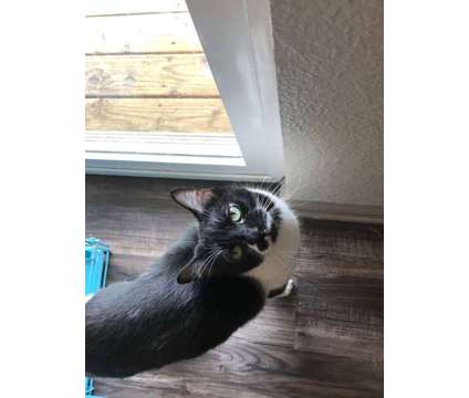 Tuxedo - Black and White Kitty is a Black, White Male Young Free in Denver CO