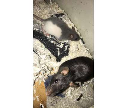 Fancy Rats for sale, breeders and rescues (pets only) is a Baby For Sale in Kankakee IL