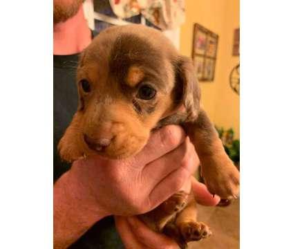 Chocolate dapple miniature Dachshund puppies is a Female Dachshund Puppy For Sale in Covington GA