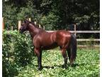 AQHA 4 Year Old Colt by Zoomin for Bux Under Contract