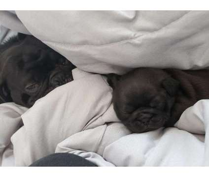 Pug Puppies Female Pug Puppy For Sale In Albany Ny 5014811072