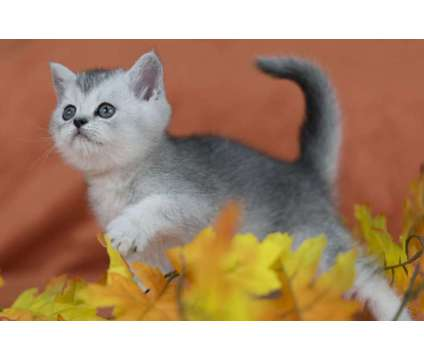 Scottish fold kittens for sale is a Male Scottish Fold Kitten For Sale in Dallas TX