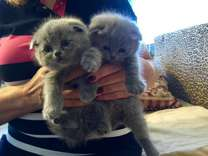 Scottish fold and straight kitties from NY. Babies were born in our home