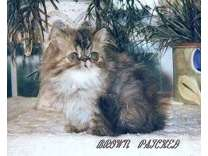 A Beautiful Brown Tabby Male Persian, 5 Months old Available