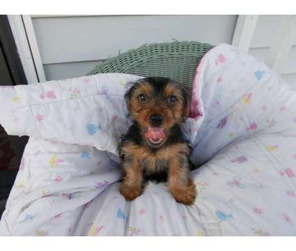 Rocky the ckc registered yorkie puppy is a Male Yorkshire Terrier Puppy For Sale in Louisville KY