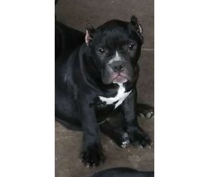 puppies american bully is a Male Puppy For Sale in San Diego CA