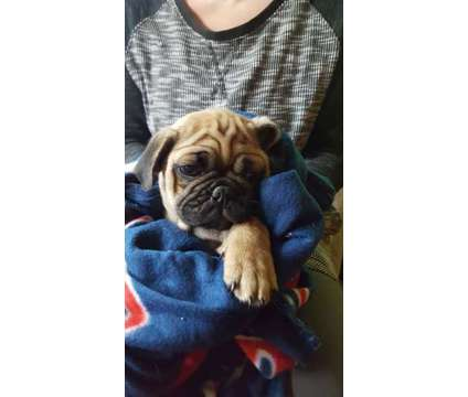 Purebred Pug Puppies is a Male Pug Puppy For Sale in Minneapolis MN