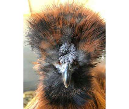 Bearded Bantam Silkie Female Chicks - DNA Sexed is a Female Baby in Los Angeles CA