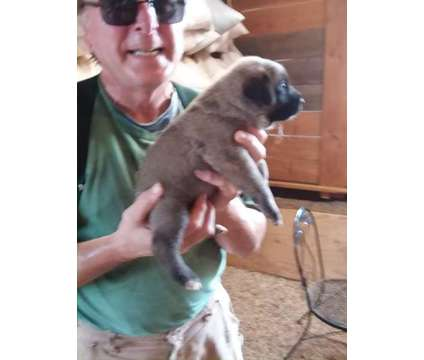 UKC Purebred Turkish Kangal Puppies for Sale is a Male Kangal Dog Puppy For Sale in Lubbock TX