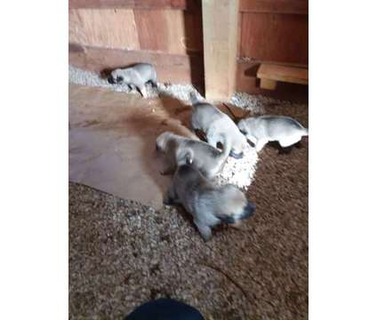 UkC Turkish Kangal Puppies for Sale is a Female Kangal Dog Puppy For Sale in Greenville SC