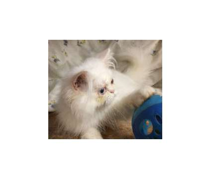 Registered White male Persian kitten looking for a loving home is a White Male Persian Young Wanted in Burnet TX