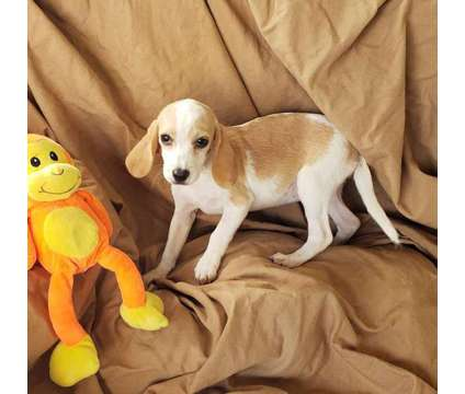 Beagle Puppies! microchipped Tricolored and Lemon is a Beagle Puppy For Sale in San Diego CA