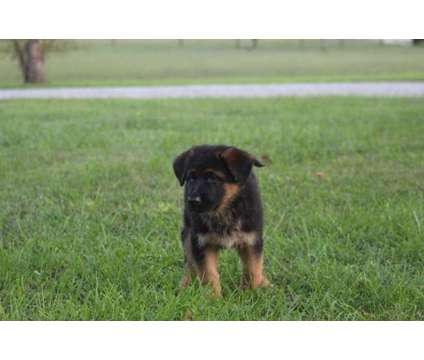 AKC German Shepherd puppies is a Female German Shepherd Puppy For Sale in Bowling Green KY