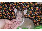 Teacup & Toy Chihuahua Puppies
