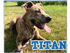 Mountain Cur Mix DOG FOR ADOPTION RGADN-1044225 - Titan - Mountain Cur / Mixed