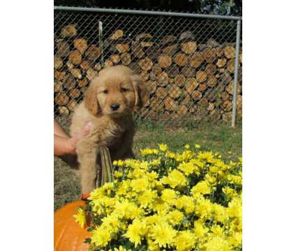 AKC Golden Retriever pup is a Male Golden Retriever Puppy For Sale in Pittsburgh PA