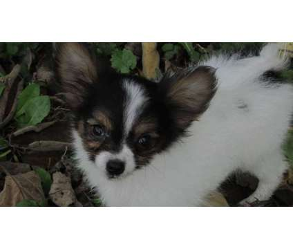 AKC tiny puppy - guy is a Male Papillon Puppy For Sale in Salisbury MD