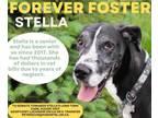 Adopt STELLA- sweet shy girl. a Great Dane