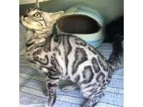 Flashy Bengal silver rosetted spayed female-purebred TICA registered