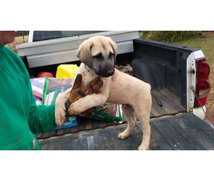 9 Week Old Purebred Turkish Kangal Puppies is a Male Kangal Dog For Sale in Virginia Beach VA