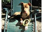 Adopt Spider a American Staffordshire Terrier, Golden Retriever
