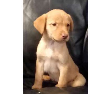 Champagne Pup Handsome Boy is a Male Labrador Retriever in Mebane NC