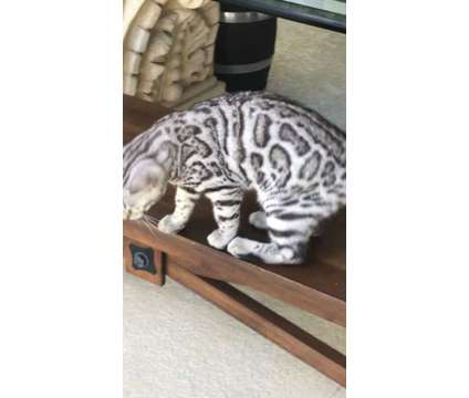 Adorable Bengal kitten- Purebred silver spotted rosetted male 16 weeks is a Grey Male Bengal Young For Sale in Miami FL