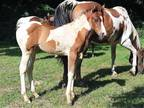 2018 Homozygous For Tobiano Fancy Well Bred Filly