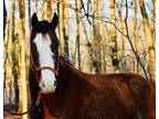 Beginner Safe Bay Roan Trail Horse