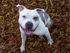 Adopt FROSTIE PAWS a White American Pit Bull Terrier / Mixed dog in Martinez